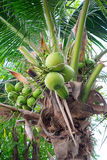 Bunches of coconuts on coconut tree Stock Image