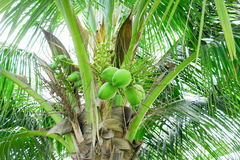 Bunches of coconuts on coconut tree Stock Photos