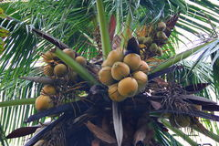Bunches of coconuts on a palm tree. Bunches of coconuts hanging high on the tree, around the green branches leaves Royalty Free Stock Photos