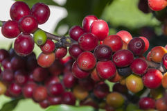 Bunches of coffee Stock Photography