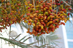 Bunches of colorful unripened dates Royalty Free Stock Images