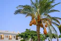 Bunches of dates hanging from a palm tree Stock Image