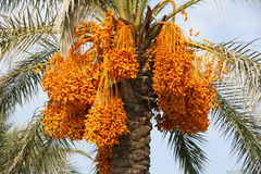 Bunches of dates on a palm tree. Large clusters of ripe orange dates on a palm tree close-up Royalty Free Stock Photo