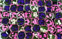 Bunches of delicate white blue and purple pansies. Stock Photography