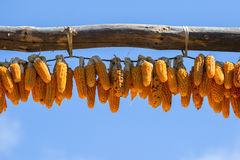 Bunches of dry corn and blue sky in Nepal Stock Photography