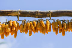 Bunches of dry corn and blue sky in Nepal Stock Image