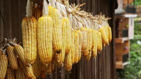 Bunches of Dry Corn stock video footage