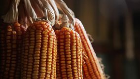 Bunches of Dry Corn stock video