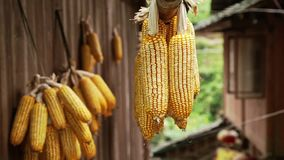 Bunches of Dry Corn stock footage