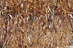 Bunches of dry corns Royalty Free Stock Photography