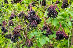Bunches of elderberries Royalty Free Stock Photography
