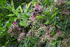 Bunches of elderberry. Bunches of elderberries, sambucus nigra, hanging from a tree Stock Photo