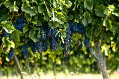Bunches of french red wine grapes growing on the grapevine at a vineyard in rural France ready for harvest before making bordeaux. Red grapes growing on the vine Stock Image