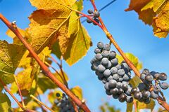 Bunches of fresh blue grapes on vine