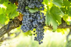 Bunches of fresh dark black ripe grape on green leafs at the havest season stock photos