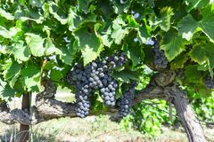 Bunches of fresh dark black ripe grape on green leaf under soft sunlight at the havest season, planting in the organic vineyard royalty free stock image