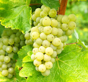 Bunches of fresh green grapes Royalty Free Stock Photos