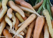 Bunches of fresh harvested Carrots Royalty Free Stock Image