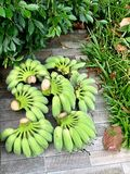Bunches of fresh green bananas lie on the garden path stock image