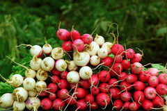 Bunches of fresh radish Royalty Free Stock Images