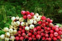 Bunches of fresh radish Royalty Free Stock Images