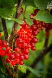 Bunches of fresh red currants Stock Image