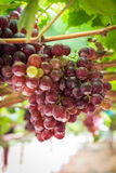 Bunches fresh red grapes. Stock Photo