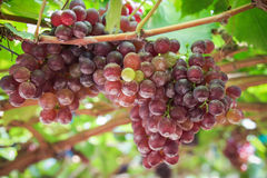 Bunches fresh red grapes. Stock Photography
