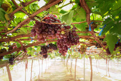 Bunches fresh red grapes. Stock Photos