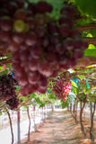 Bunches fresh red grapes. Royalty Free Stock Photos