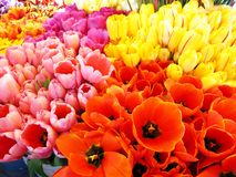 Bunches of Fresh Tulips Stock Photos