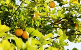 Bunches of fresh yellow ripe lemons on lemon tree royalty free stock photos