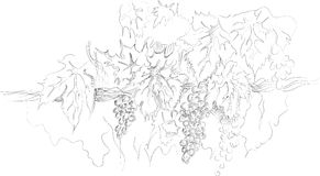 Bunches of grape, handmade sketch Stock Images