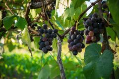 Bunches of grape on the plant. In the farm Royalty Free Stock Photography
