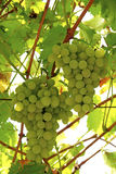 Bunches of grapes. On vine Stock Image