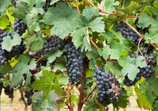 Bunches of grapes. Royalty Free Stock Photos