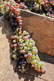 Bunches of grapes Royalty Free Stock Photos