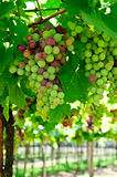 Bunches of grapes royalty free stock image
