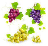 Bunches of grapes. On a white background. Vector illustration Stock Image