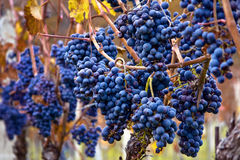 Bunches of grapes. Bunches of matured blue grapes on Moravian Palava vineyard Stock Images