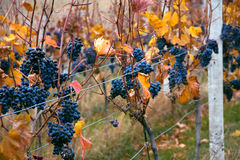 Bunches of grapes. Bunches of matured blue grapes on Moravian Palava vineyard Stock Photo