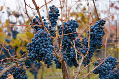 Bunches of grapes. Bunches of matured blue grapes on Moravian Palava vineyard Stock Photos
