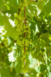 Bunches of grapes. Stock Photography