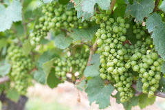 Bunches of Grapes Royalty Free Stock Images