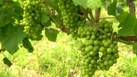 Bunches of grapes on grapevines growing in a Rhine Valley vineyard, Germany, Europe stock video footage