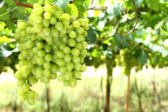 Bunches of grapes. Bunches of green grapes in vineyard Stock Photos