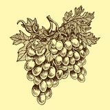 Bunches of grapes grow hand drawn viticulture vector illustration sketch nature food juicy berry. Bunches of grapes grow viticulture vector illustration sketch stock illustration