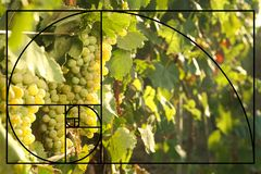 Bunches of grapes growing in vineyard on sunny day. stock photo