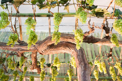 Bunches of grapes hang from a vine Stock Images
