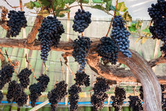 Bunches of grapes hang from a vine Stock Image